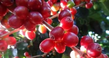 达州咖啡培训学校之咖啡品鉴及烘焙基础知识